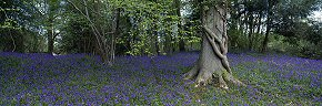 bluebells in ashdown forest 2