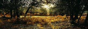 autumn morning, new forest