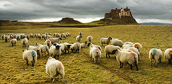 lindisfarne sheep card